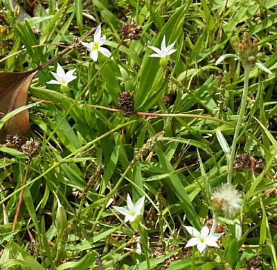 白花のオオニワゼキショウ?