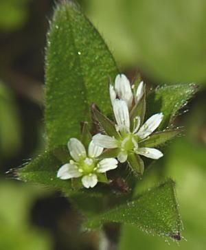 ミミナグサの花