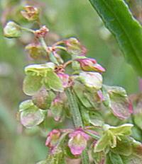 ナガバギシギシの花