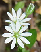 ノミノフスマの花