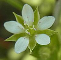 ノミノツヅリの花