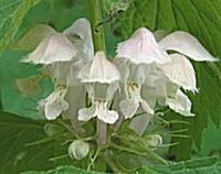 オドリコソウの不揃いな花