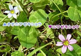 オオニワゼキショウとニワゼキショウの花、大きさ比較