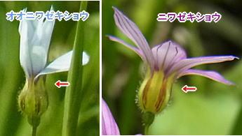 オオニワゼキショウとニワゼキショウの花托比較