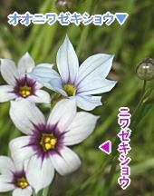 オオニワゼキショウとセキショウ(白花)の色比較