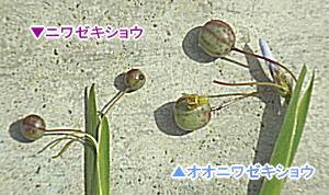 オオニワゼキショウとニワゼキショウの実の大きさ比較