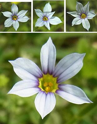 オオニワゼキショウの花