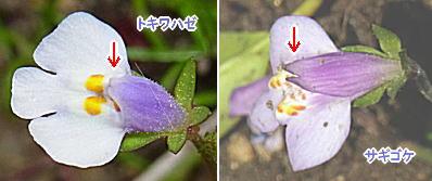 トキワハゼとサギゴケの花の上唇部切れ込みの比較