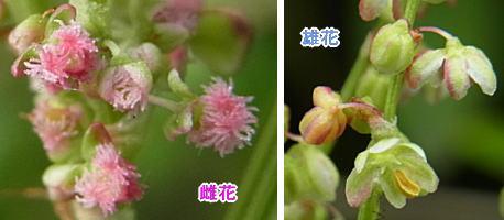 スイバの花