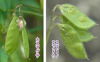 スズメノエンドウとカスマグサの実の比較