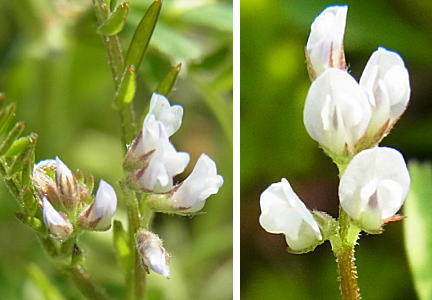 スズメノエンドウの花
