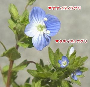タチイヌノフグリとオオイヌノフグリの花の比較