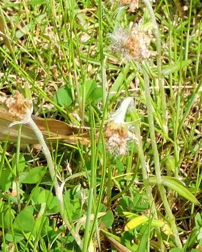 花の開いたチチコグサ