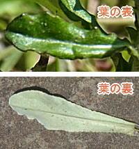 ウラジロチチコグサの葉