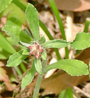 ウスベニチチコグサの花