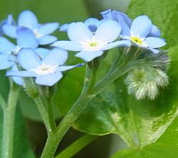 ワスレナグサの花序