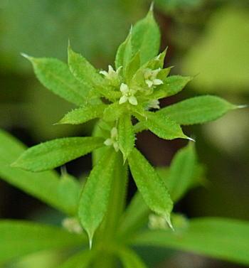 ヤエムグラの花