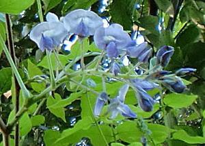 ヤマフジの花