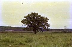 ニレの木1