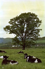 ニレの木3