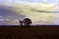 ニレの木2