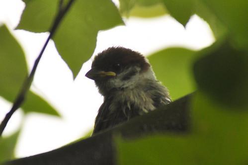 親鳥を待つ01
