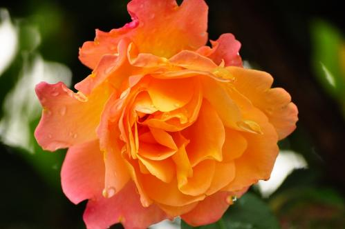 アンネのバラ01