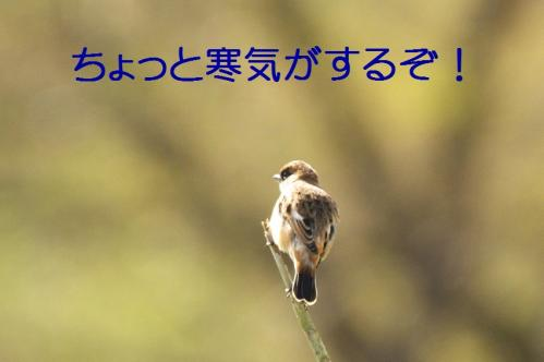 ノビタキ05