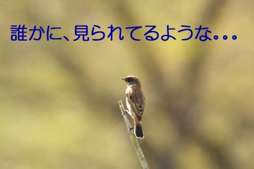 ノビタキ04