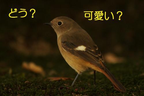 ジョウビタキ03
