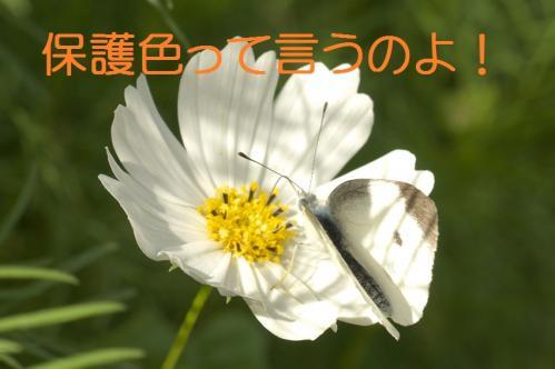 kosumosu02_20101028183934.jpg