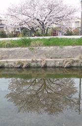 minamosakura.jpg