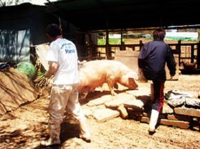 母豚移動1