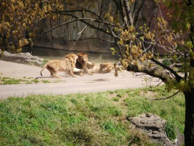 ライオンのケンカ