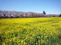 アブラナ畑と権現堂堤の桜