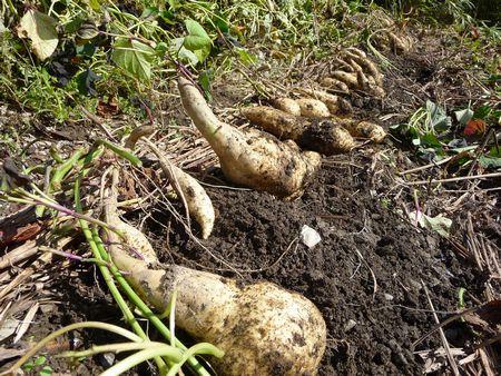 おイモ掘り