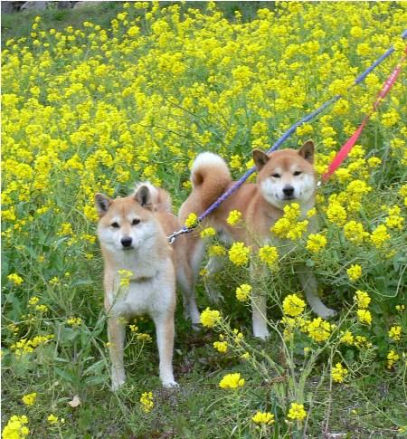 菜の花に囲まれて