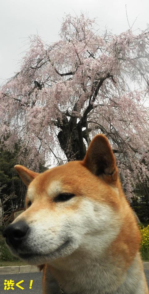 翔くんと桜