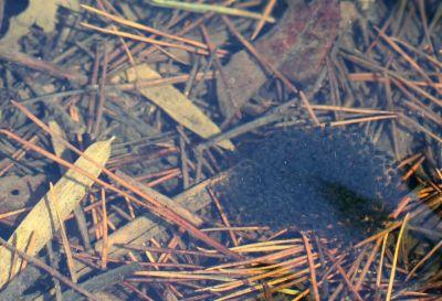 ニホンアカガエル卵塊