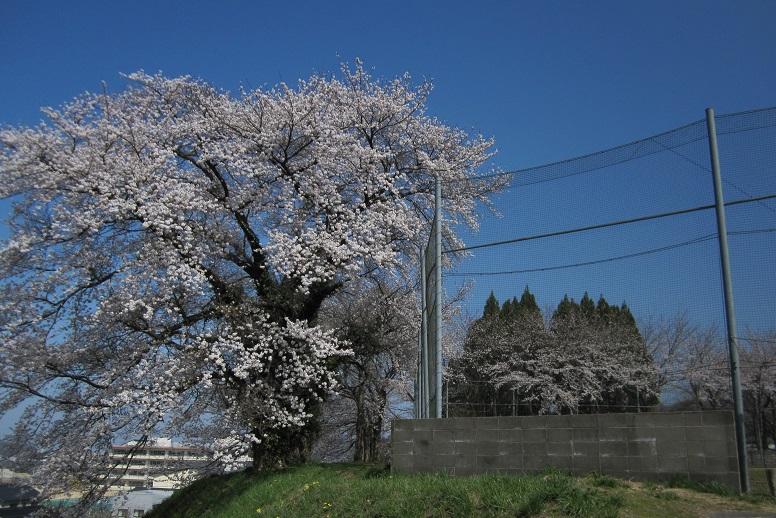 樹齢80年余の昭和天皇即位記念桜