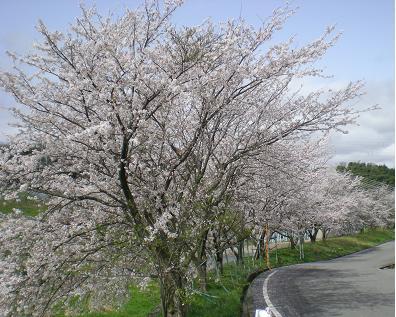 田上本町の朝霧桜です。