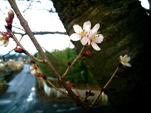 夕空と冬桜 !? 川の一里塚 !?④