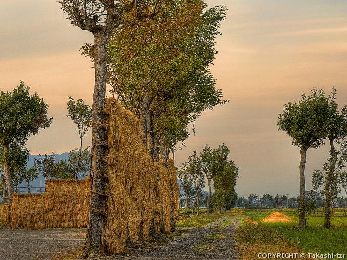 夏井の稲架木