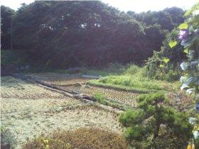 2010稲刈り1