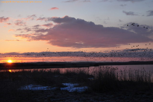 2012・4ウトナイ湖マガン
