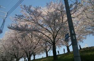 0401桜