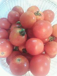 1308プチトマト