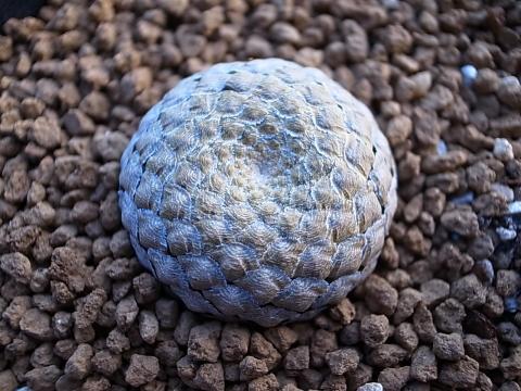 20140112_Euphorbia piscidermis