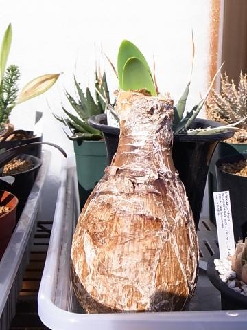 20140201_Brunsvigia grandiflora