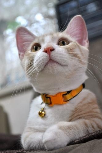 短足猫日記